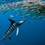 En hızlı yüzen balık hangisidir?