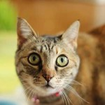 Kediler nasıl hep dört ayakları üzerine düşerler?
