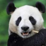 Pandalar Hakkında Bilgi