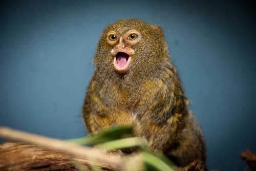 ipek maymunu