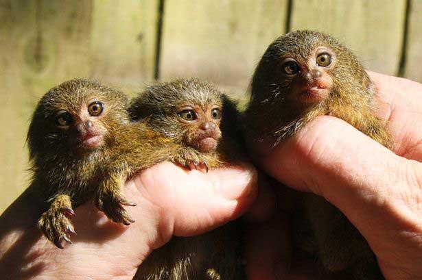 parmak maymun