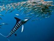 en hızlı yüzen balık