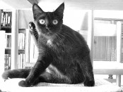 saskin-kedi